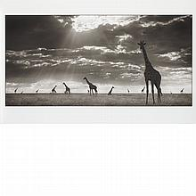 BRANDT, NICK [Giraffes in evening light, Maasai Mara].