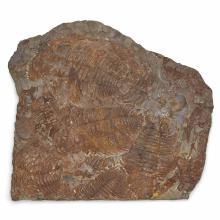Acadoparadoxides Briareus Trilobite Plate