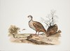 Signed 1983 Brown Quail Lithograph