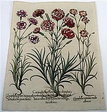 1 piece. [Besler, Basilius.] Hand-Colored Botanical Engraving.