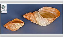 Two Royal Worcester Shells. Circa 1909. One 3