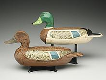 Rare rigmate pair of mallards, Edgar Vale, Pekin, Illinois.