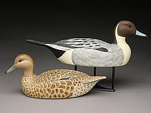 Pair of pintails, Cigar Daisey, Chincoteague, Virginia.