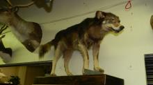 full mount Eastern Wolf on board, special shipping required