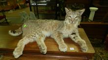 nice Bobcat full mount, in lounging position, Special shipping required