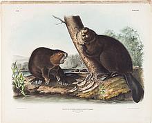 John James Audubon. Castor Fiber Americanus - Plate XLV