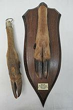 Taxidermy. A deer slot mounted on shield shaped oak base marked DNS (Devon and Somerset Stag Hounds)