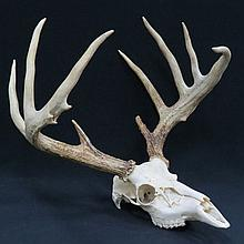 WHITE TAIL DEER SKULL AND ANTLERS
