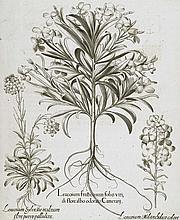 Gartenlevkojen, Schotendotter.  Leucoium fruticosum folio viridi flore albo odorato Camerarii (