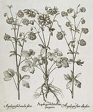 Akelei.  Aquileia stellata flore purpureo (&) ... albo pleno (&) ... coeruleo pleno. Kupferstich