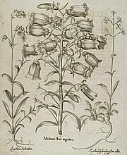 Marien-Glockenblume, Lichtnelken.  Medium flore argenteo, Lychnis Sylvestris (&) flore albo. Kup