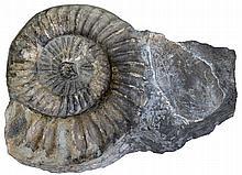Ammonit, Nautilus.