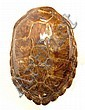 Large Whole Tortoise Shell. Good to Very Good Condition. Measures 22-1/4 Inches Long and 16-5/8 Inches Wide. We Will Not Ship This Item Out of State of Florida. Anyone Having This Item Shipped Must Have a Florida Address or the Item will not be