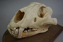 Genuine Mounted Masai Lion Skull From Kenya 13-1/2