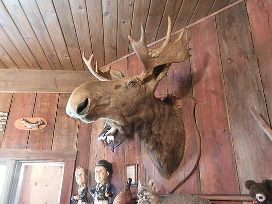 Shoulder Mount Bull Moose