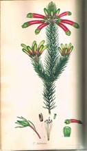 1806 The Heathery; Or A Monograph Of Genus Erica