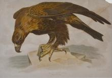 G. J. BROINOWSKI AQUILA AUDAX (WEDGE TAILED EAGLE)LITHOGRAPH (DIAGONAL TEAR AND LOSS TOP RIGHT HAND CORNER) 23 X 33.5 CM