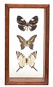 FRAMED BUTTERFLY DIORAMA CONTAINING THREE BUTTERFLIES