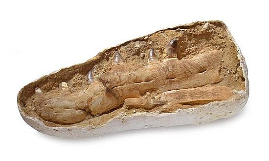 MOSASAUR, MARINE REPTILE, CRETACEOUS (APPROXIMATELY 100 MILLION YEARS OLD), KHOURIBGA, MOROCCO, 70CM X 33CM X 13CM
