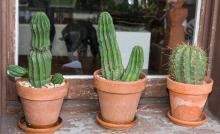SIX CACTI IN TERRACOTTA POTS (three featured)