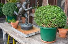 TWO POTTED TOPIARY BUSHES