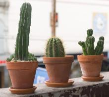SIX POTTED PLANTS INCLUDING THREE CACTI AND ONE SUCCULENT IN TERRACOTTA POTS (three featured)