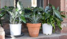THREE ASSORTED POTTED PLANTS
