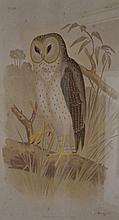 AFTER JOHN GOULD, PRINTED BY G. J. BROINOWISKI,, STRIX DELICATULUS- DELICATE OWL, LITHOGRAPH, 33 X 23CM