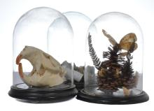 A COLLECTION OF THREE GLASS DOMES ON HARDWOOD BASES CONTAINING VARIOUS PIECES OF NATURAL HISTORY INCLUDING A BEAVER SKULL
