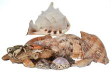 A LARGE COLLECTION OF ASSORTED SEA SHELLS, CRABS, CORAL AND A TURTLE SPECIMEN