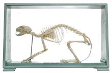 MOUNTED CAT SKELETON IN A PAINTED HARDWOOD CASE, DIMENSIONS 52 BY 34 BY 14CMS