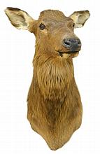 Female Elk's Head Mount