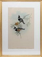 John Gould (1804 - 1881) Parus Rubidiventris Plate