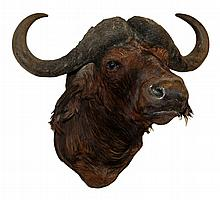 Mounted African Cape Buffalo Head