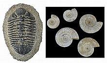 Large Trilobite Fossil & (5) Ammonite Fossils