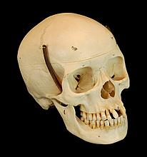 Educational Authentic Human Skull