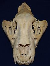Indian Tiger Skull Complete w Upper & Lower Jaw
