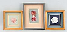 Lot of 3: Shadowbox Framed Shells.