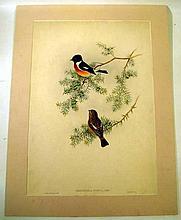John Gould / H C Richter ORIGINAL HAND-COLORED ORNITHOLOGICAL LITHOGRAPH c1865 Antique Natural History Indian Furze-Chat