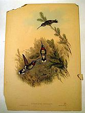 John Gould / H C Richter ORIGINAL HAND-COLORED ORNITHOLOGICAL LITHOGRAPH c1835 Antique Natural History Ruby Throated Hummingbirds