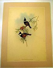 John Gould / H C Richter ORIGINAL HAND-COLORED ORNITHOLOGICAL LITHOGRAPH c1865 Antique Natural History Asian Songbirds