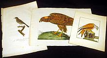 3Pcs Laid Paper Hand-Tinted ORIGINAL ORNITHOLOGICAL PRINTS Engravings Watercolor William Lewin Moor Buzzard Moucherolle Ornithology