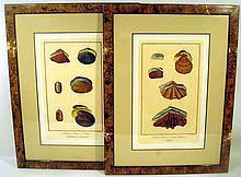 2Pcs Dala FRAMED ANTIQUE HAND-TINTED CHRONOLOGICAL ENGRAVED PLATES Lutraria Capsa Tridacna Ipoppo Seashells