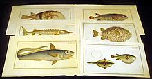 6Pcs Kruger ANTIQUE HAND-TINTED ICHTHYOLOGICAL ENGRAVED PLATES Ludwig Schmidt Original Laid Paper Diodon Hystrix Long Diodon Sturgeon Tetrodon Ocellatus Mountain Salmon Sea Weather-Cock