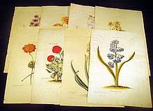 8Pcs Antique Hand-Tinted ORIGINAL ENGRAVED BOTANICAL PLATES ON LAID PAPER Seligmann Ehret Nuremberg Narcissus Ronunculus Anemone Hyacinth