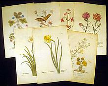 7Pcs Original Hand-Tinted ANTIQUE ENGRAVED BOTANICAL PLATES Adonis Narcissus Caryophyllus Carnation Lily Dens-Canis Hepatica Laid Paper