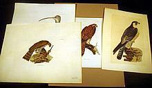 4Pcs Hand-Tinted Original ANTIQUE ORNITHOLOGICAL PRINTS Engravings Plates Curlew Watermark Kestril Peregrine Falcon Sparrow Hawk Ornithology