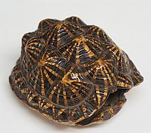 A terrapin shell, 7.5cm long