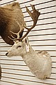 GAME TROPHY MOUNT, European Fallow Deer head mount