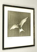 Common Tern Signed Artwork Photo